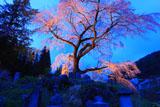 墓守の桜の黒船桜
