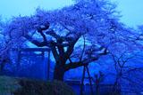 黎明の愛宕様の小彼岸桜