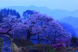 昧旦の愛宕様の小彼岸桜