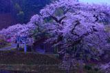 愛宕様の小彼岸桜と愛宕神社