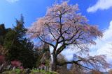 青空に桜舞う黒船桜