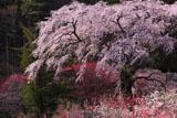 花桃と黒船桜