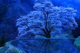 薄明の駒つなぎの桜