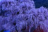 中塩の枝垂桜