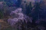 赤和観音のしだれ桜