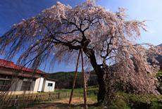 赤和集落センターのしだれ桜