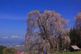 水中のしだれ桜と妙高山