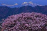 黒部のエドヒガン桜と妙高山