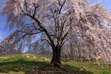 なごみの桜