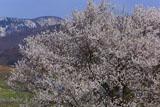 宇木の見返り桜