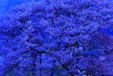 朝ぼらけの黒部のエドヒガン桜