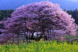 菜の花と黒部のエドヒガン桜
