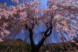 弁天池から見上げた弁天さんのしだれ桜