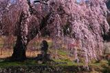 弁天さんのしだれ桜と蚕神の石碑