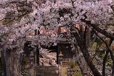 長玅寺の桜 ソメイヨシノ