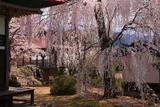 長玅寺の桜 サクラの競演