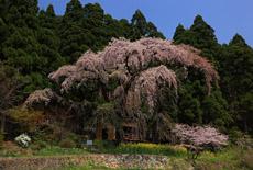 大日向観音堂しだれ桜