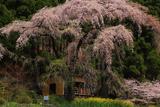 観音堂の夫婦桜