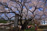 昼下がりの延命地蔵堂の大桜