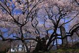 裏側からの延命地蔵堂の桜