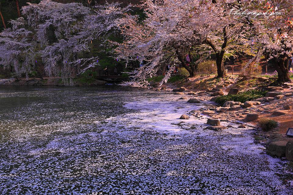 臥竜公園の桜紀行