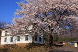 旧園里学校の桜