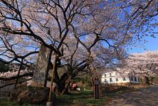 延命地蔵堂の桜