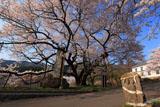双体道祖神と延命地蔵堂の桜