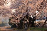 夕陽に耀く延命地蔵堂の桜