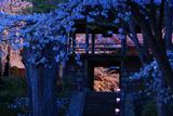 長玅寺の桜 灯籠