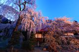 長玅寺の桜枝垂桜