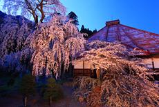 長玅寺の桜