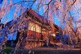 長玅寺の桜 花すだれ