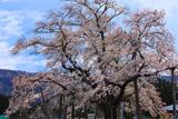 山口奨学桜 散り始め
