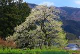 子守堂のエドヒガン桜