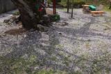 伊豆大権現の種まき桜