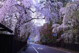 角館武家屋敷通りの枝垂れ桜