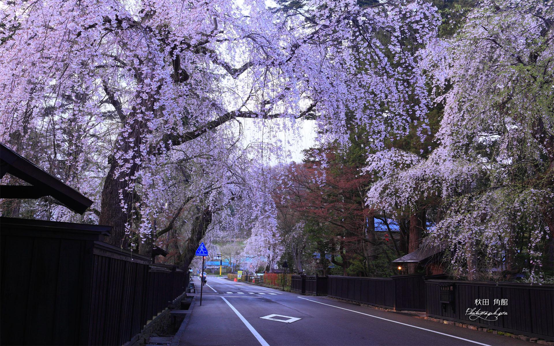 角館武家屋敷通りの枝垂れ桜 「角館武家屋敷通りの枝垂れ桜」の壁紙はWUXGAディスプレイ(1