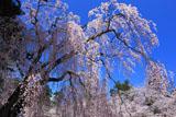 弘前城 二の丸大枝垂れ