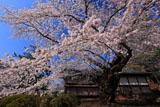 弘前城 日本最古の染井吉野