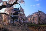 弘前城 御滝桜