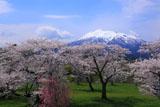 青空の岩木山と岩木川河川公園の桜