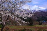 鰺ヶ沢町の桜 浜横沢からの岩木山