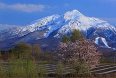 鰺ヶ沢町の桜