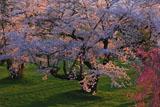 夕陽に照らされた岩木川河川公園の桜