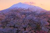 夕照の岩木山と岩木川河川公園の桜