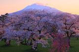 岩木川河川公園の桜