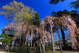 西光寺の枝垂れ桜と鐘楼