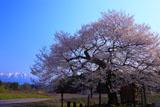七ッ田の弘法桜と残雪の岩手山