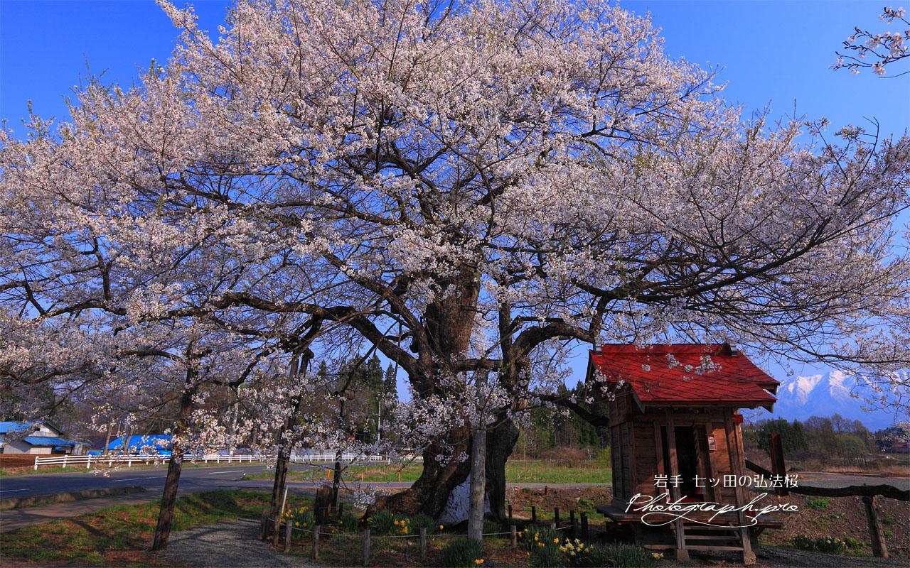 七ッ田の弘法桜 壁紙